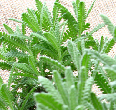 Natures Herb Farm | French Lavender