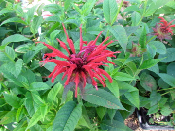 Bee Balm - Jacob Kline
