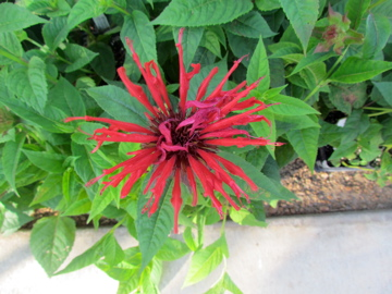 Bee Balm - Jacob Kline2