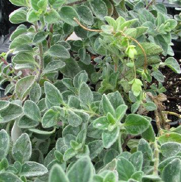 Pulchellum Oregano2